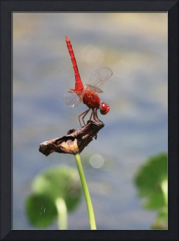 Red Dragonfly Closeup