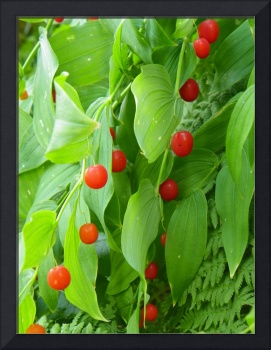 Clasping twistedstalk Watermelon Berry