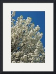 Dogwood & Blue Sky by Rich Kaminsky