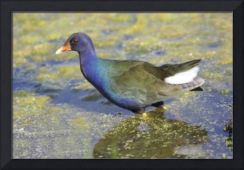 Purple Gallinule Photograph