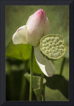 Lotus Water Lily with Seed Pod