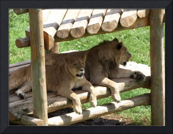Lions at the zoo II
