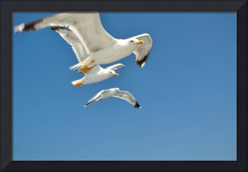 Three white flying Seagulls against a blue sky
