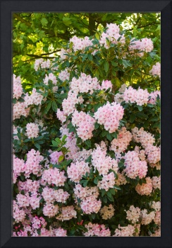 Bush of pink rhododendrons