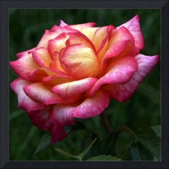 Passionate Shades of a Perfect Rose
