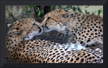 Kissing Cheetahs