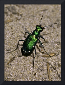 Green Tiger beetle Photo