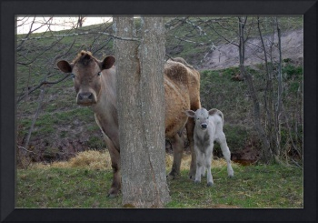 Mama Cow And Her Calf