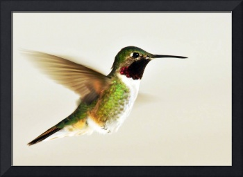 broad tailed hummingbird male flight