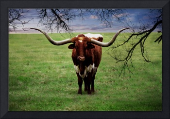 Photo Texas Longhorn A5010816
