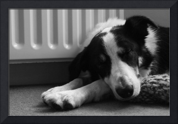 Charlie my collie