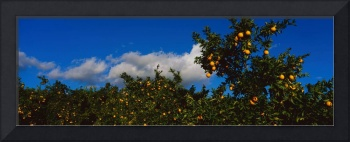 Oranges on Trees Ojai CA