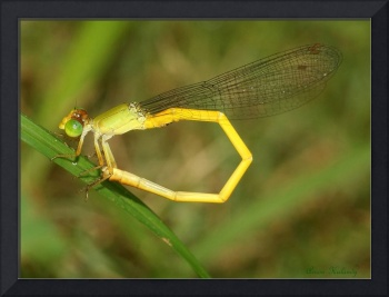 A Damsel fly with the tail rounded.