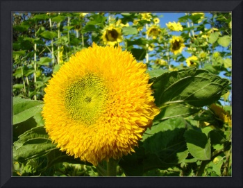 OFFICE ART PRINTS SUNFLOWER YELLOW Baslee Troutman