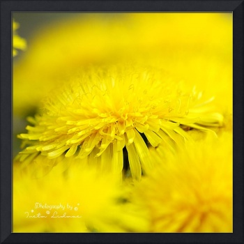 Yellow dandelions