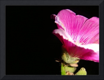 A Pink Flower At Night