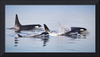 Orca Whales Killer Whale Family