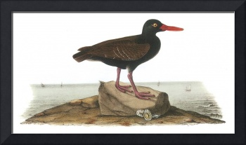 Black Oystercatcher Bird Audubon Print