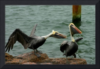 Brown Pelican Fight