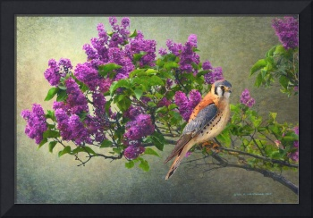 lilac branch with male kestrel