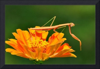 Praying Mantis & Zinnia