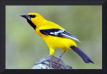 Bonaire's Yellow Bird