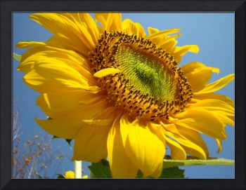 SUNFLOWER Sunny Blue Sky Art Giclee Baslee Trout