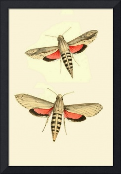 Sphinx Moth - 1848 PD Image