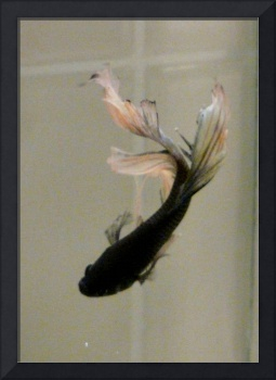 g Dark Blue and apricot Fantail Male Betta Siamese