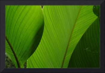 Banana Leaves, Cloud Forest of Andes
