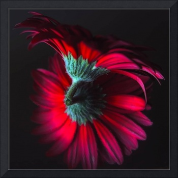 Reflection of the Gerbera
