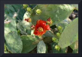 Red Mexican Prickly Pear Cactus Flower DSC02367