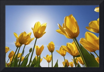 Yellow Tulips Against A Blue Sky At Wooden Shoe Tu