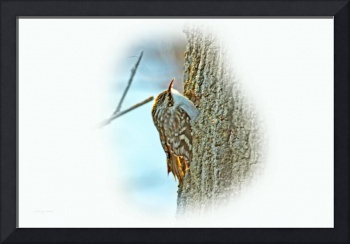 Brown Creeper Songbird - Certhia americana