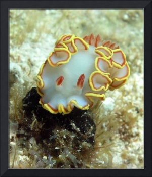 Nudibranch - Red-Tipped Sea Goddess