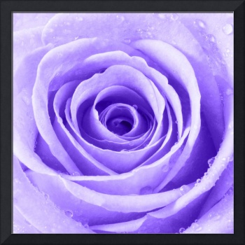 Purple Rose with Water Droplets