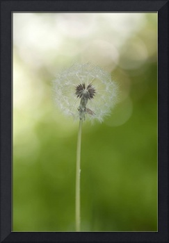 Dandelion at early backlight