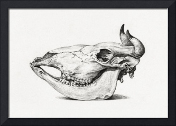Vintage Bull Skull Illustration