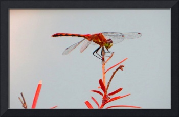 Dragonfly_in_Red_1035_b_1