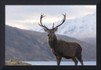 Red Deer Stag in Highland Scotland