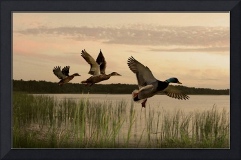 Wild Ducks Aloft
