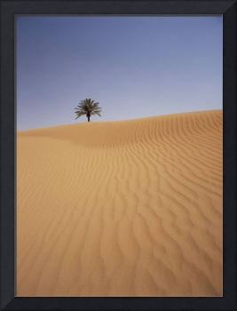 Solitary Date Palm Tree In The Sand Dunes, Tinfou