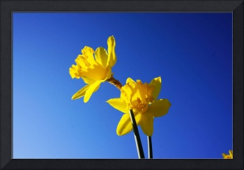 Blue Skies Spring Floral Yellow Daffodils Flowers