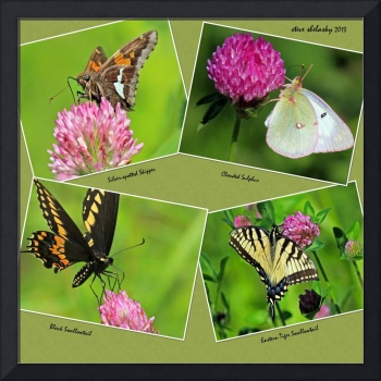 Butterflies on Red Clover