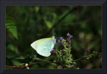 Cabbage Butterfly on a Wildflower