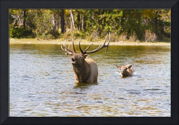 Bugling Bull Elk and Calf Colorado Rut  2