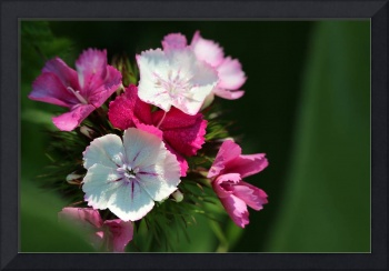 Sweet William Dianthus 2016