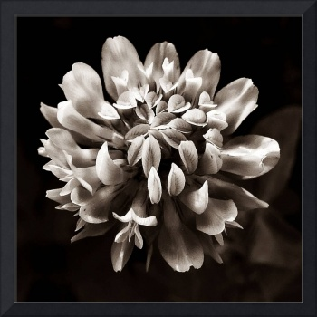 Red Clover In Black And White X