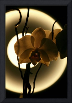 Xray orchid (2)