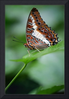 White-barred Charaxes Butterfly Vertical
